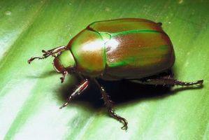 ¿Cómo deshacerse de los escarabajos
