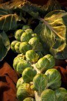Cuando plantar verduras de cosecha de invierno
