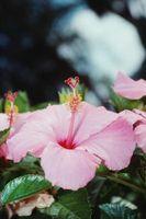 Daños por congelación Hibiscus