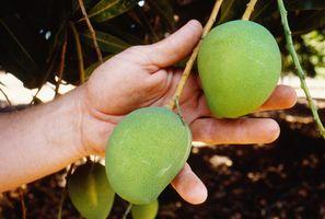 Siembra distancia entre árboles de Mango