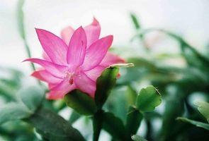 Fertilizante para Cactus orquídea