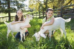 ¿Cómo plantar hierba de búfalo de un pasto de cabra