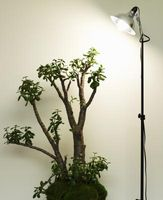 ¿Cómo hacen las plantas de Jade crecen rápido