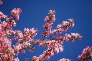 ¿Cómo y cuando podar los árboles de Manzano de Adams