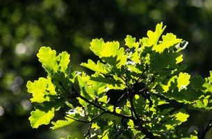 ¿Crecerán árboles de roble dos conjuntos de hojas en un año?