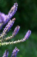 Moho en Lilacs
