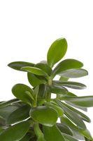 Cómo hacer hojas de planta de interior brillante