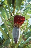 Cómo cultivar banano Cavendish enano