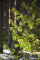 Cómo tratar a árboles de pino para descortezadores