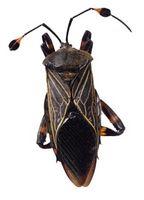 Aerosoles para insectos squash