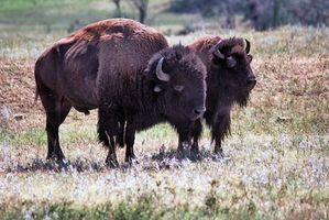 Cómo utilizar la hierba de búfalo en Alabama