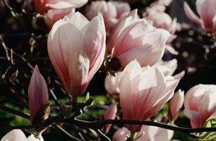 Cinco hechos acerca de la flor de Magnolia