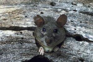Cómo encontrar una rata muerta en la pared