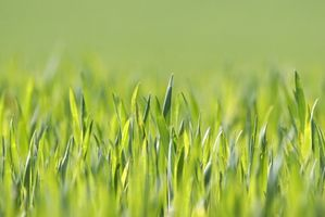 ¿Cuándo usted cortar hierba recién sembrada?