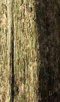 Usos de un árbol de nogal