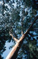 ¿Es a prueba de error madera eucalipto?