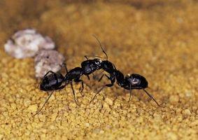 ¿Por qué enjambre de hormigas negras en un solo lugar?