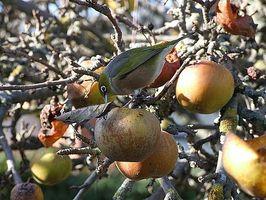 Cómo hacer aves disuasivos para los árboles frutales