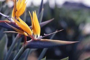 Cómo manejar y cuidar una flor de ave del paraíso