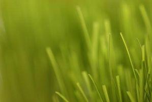 Cuando sembrar semilla de hierba de Bahía