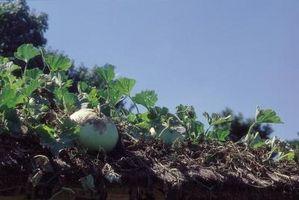 Cómo el tiempo de siembra de hortalizas de Tennessee