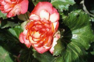 Usos de Begonia para un jardín