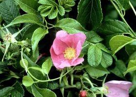 ¿Cómo deshacerse de la rosas Rugosa