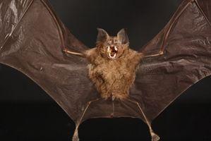Eliminación de un murciélago en la casa