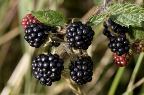 ¿Qué tipos de arbustos crecen frutas?