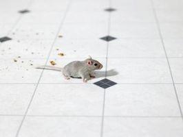 Cómo atrapar a un ratón en su casa