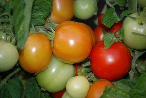 PH y CE en plantas de tomate