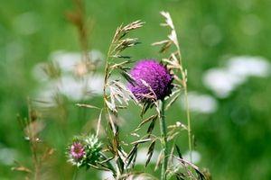 Plantas tolerantes a herbicida