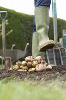 ¿Patatas subirán si plantado en abril en Oklahoma?