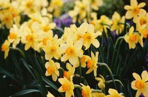 ¿Cómo plantar los narcisos en primavera