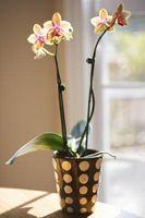¿Riego Regular es necesario para las orquídeas en invierno?