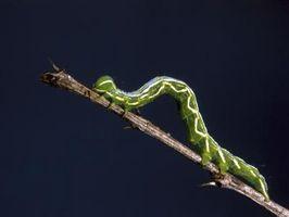 ¿Cómo deshacerse de una infestación de gusano pulgadas