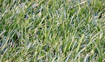 La diferencia entre el pasto ovillo, festuca y Bluegrass