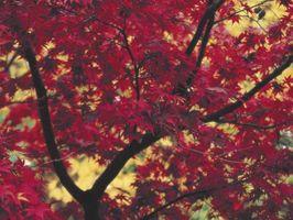 Manchas blancas en las hojas del árbol de arce rojo