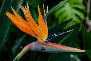Cómo cortar una planta Ave del paraíso