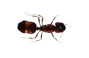 Remedio casero para deshacerse de las hormigas en su jardín