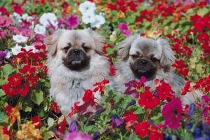 Cómo impedir que un perro escarbando en una cama de flores