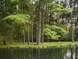 Cómo identificar los tipos de árboles de hoja perenne