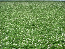 Cómo patatas malas hierbas