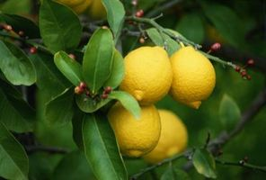 ¿Puede subir limones de semillas en el interior de una olla?