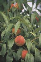 Sal en árboles frutales