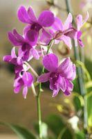 Tratamientos insectos para las orquídeas