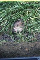 Una infestación de ratones en mi jardín