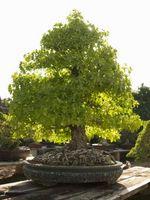Cómo cortar las raíces de los bonsais