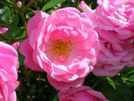 Mantenimiento del jardín de las rosas