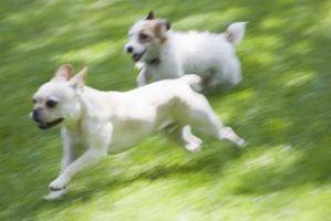 ¿Hay semillas de césped, que usted puede utilizar que los perros no pueden dañar y no hacerles dañan?